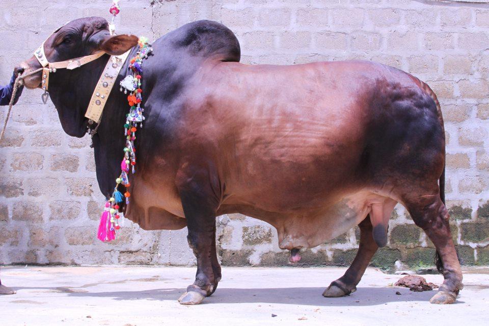 MOTAY PEHLWAN - Al-Rahman Cattle Farm