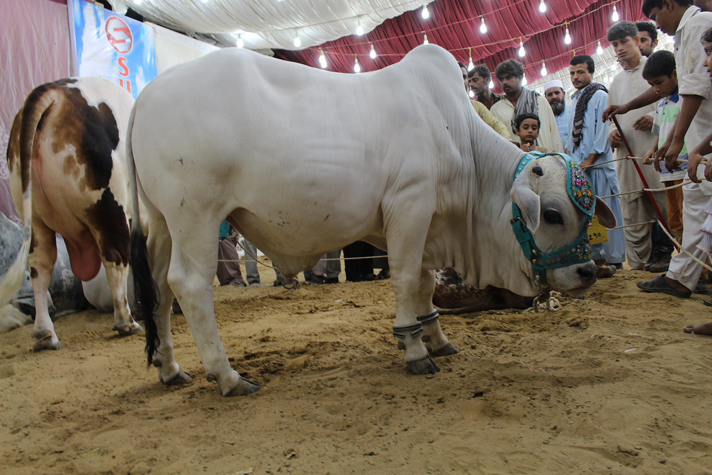 Pure White Cow In Cattle Farm Karachi