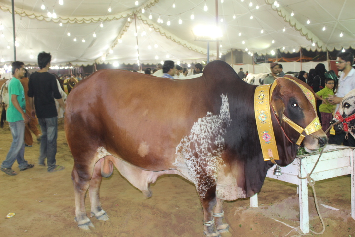 Brown Cow With Black Shades