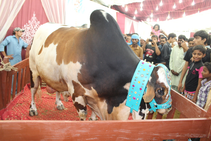 Black White And Brown Colored Cow At Cattle Farm 2014