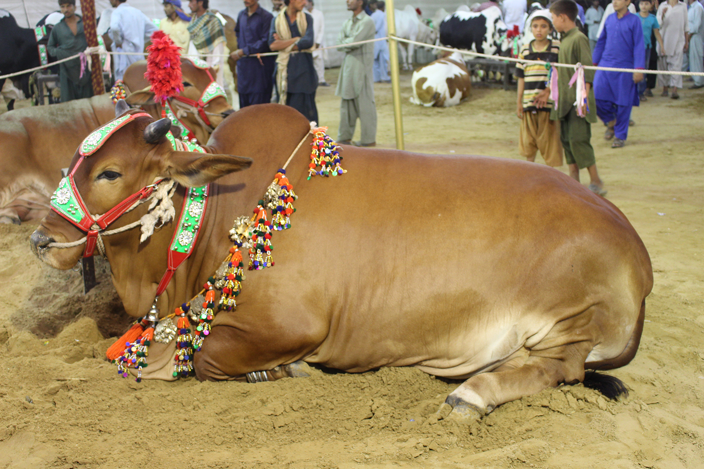 Light Brown Beautiful Cow