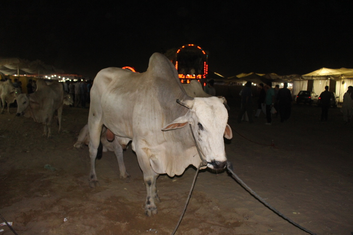 Cow Walking In Night At Cow Mandi 214