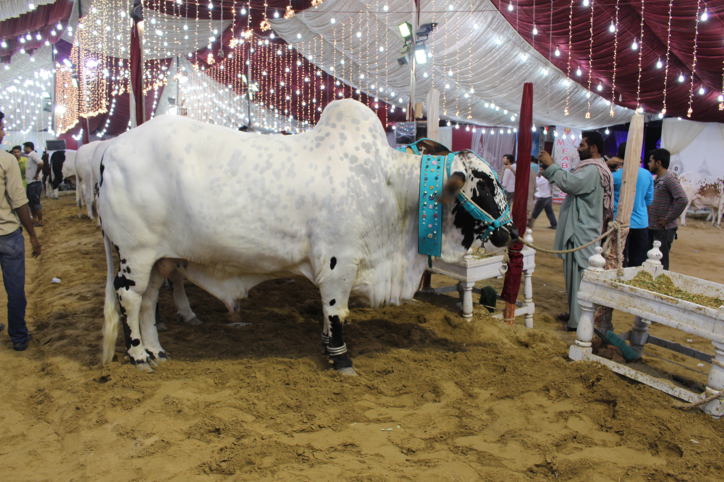 Very Beautiful Cow In Cattle Farm Karachi