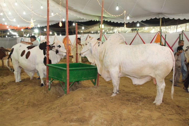 Full White Bull In Cattle Farm 2014
