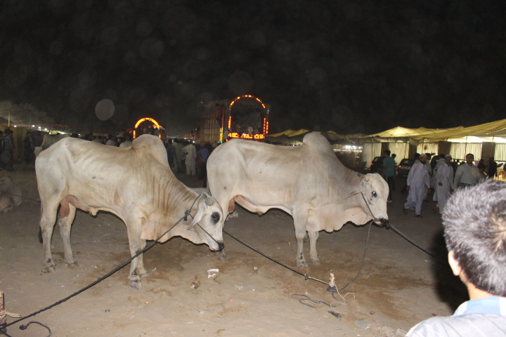 Pair Of Light Brown Cows At Cow Mandi 2014