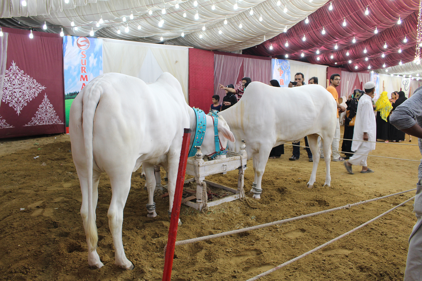 Couple Of White Cows In Tent