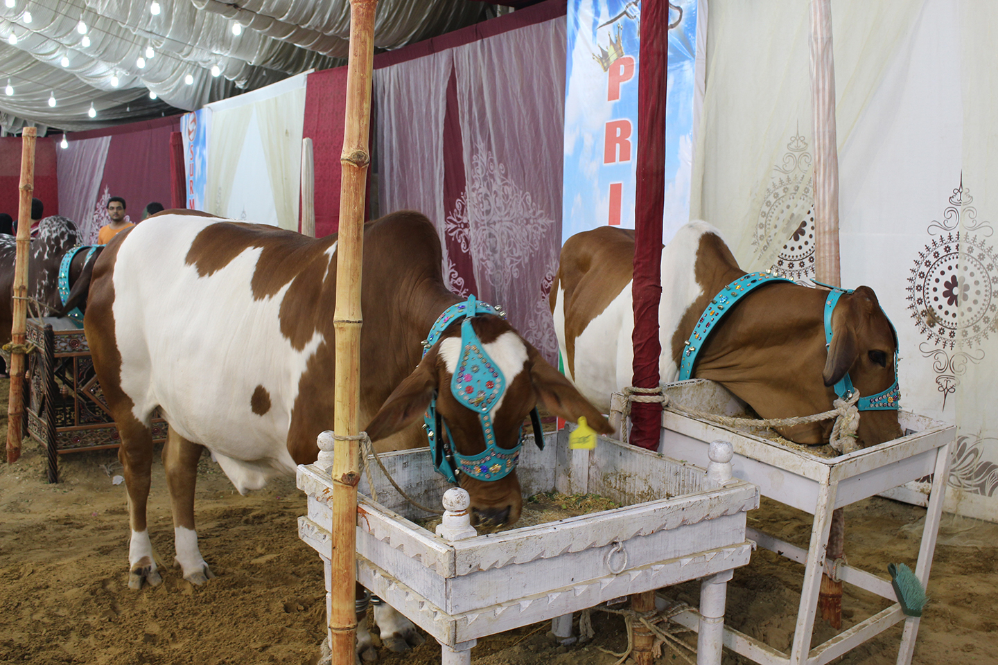 Brown And White Cow Couple In Mandi