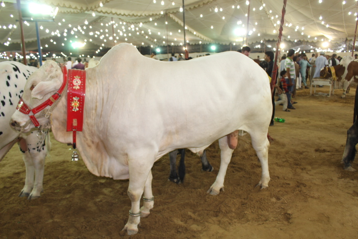 Complete White Bull At Cattle Farm 2014
