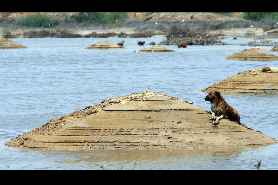 A dog finds dry ground in a flooded area as rain water receded following torrential rains in Karachi