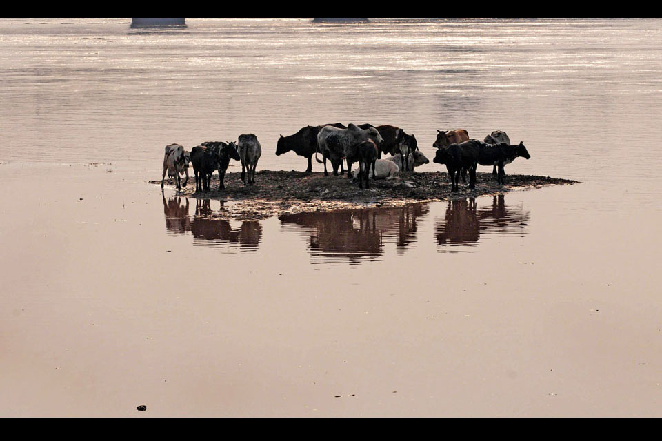 Animals gather on the high ground of the Ravi river in Lahore