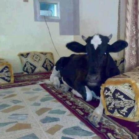 Enjoy cow