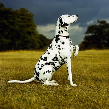 A white dog with black spots