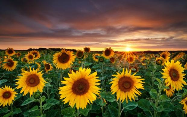Sunflower View