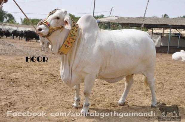 Mah Rani From SHAH CATTLE FARM 2013