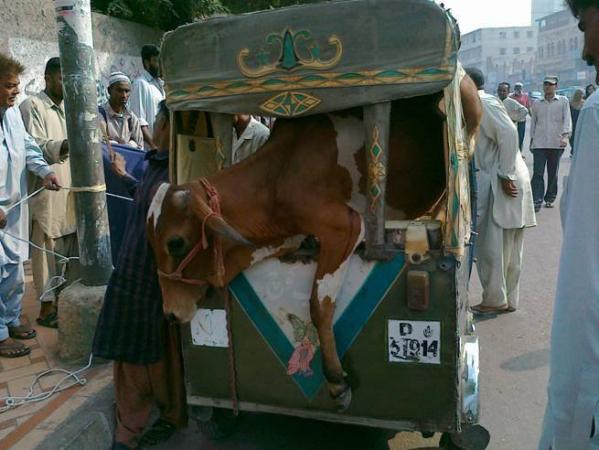 Cow in Rickshaw