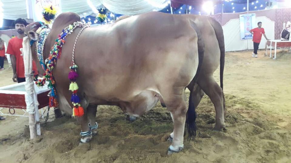 786 Cattle Farm 2016