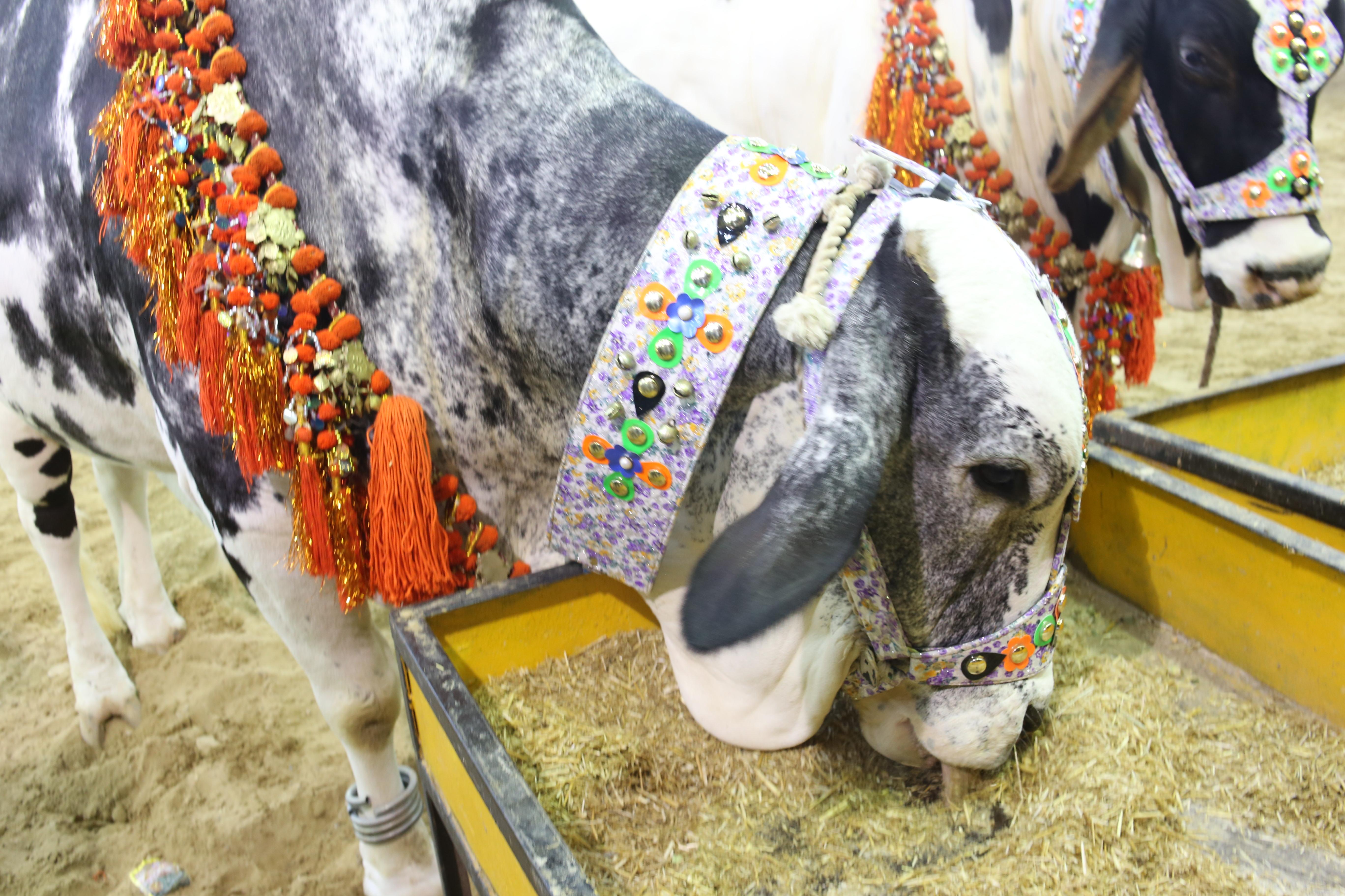 786 Cattle Farm 2019