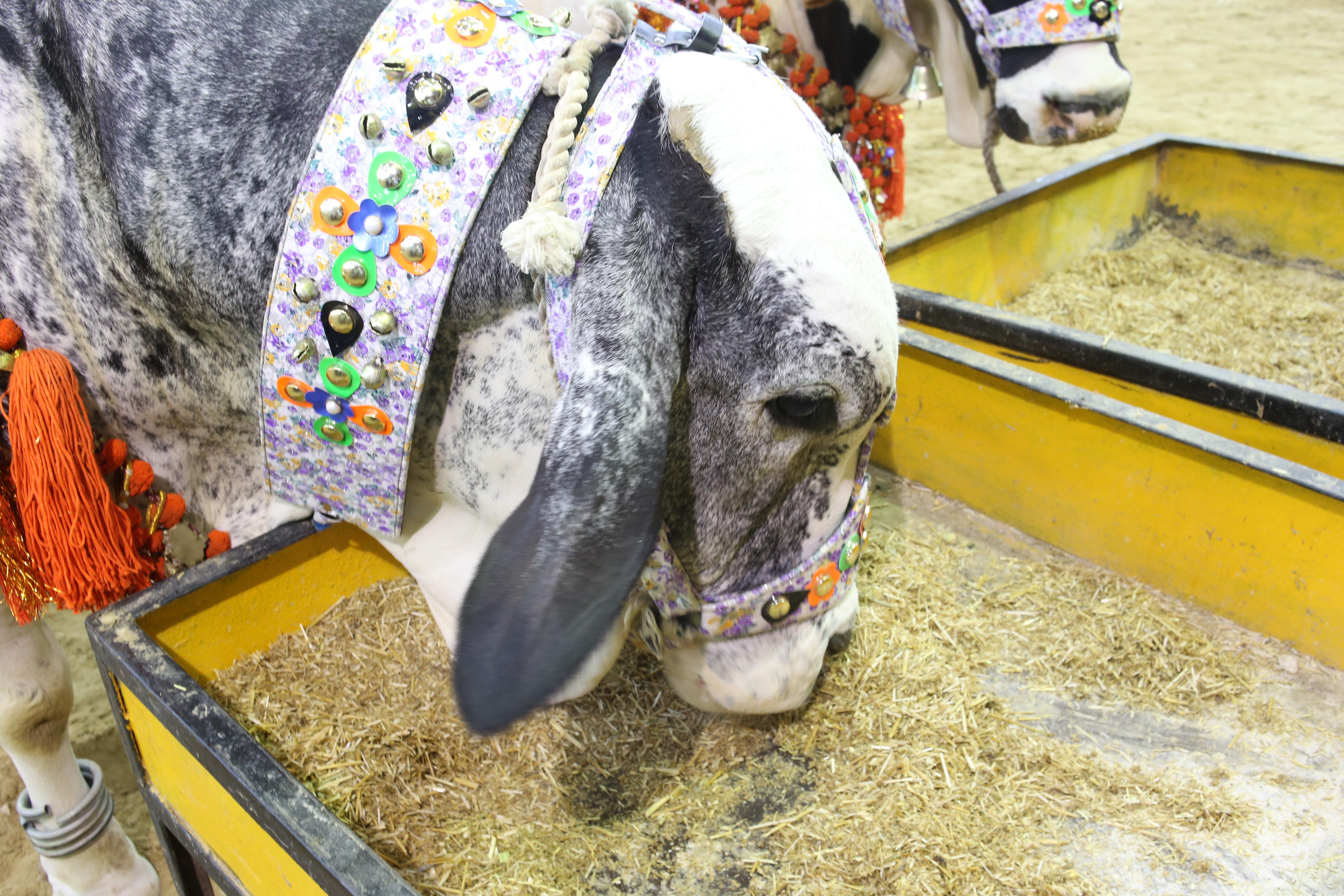 Afridi Cattle Farm 2019