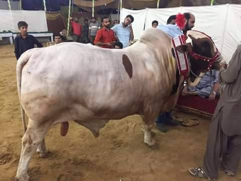 Bahar e Madina Cattle Farm 2016