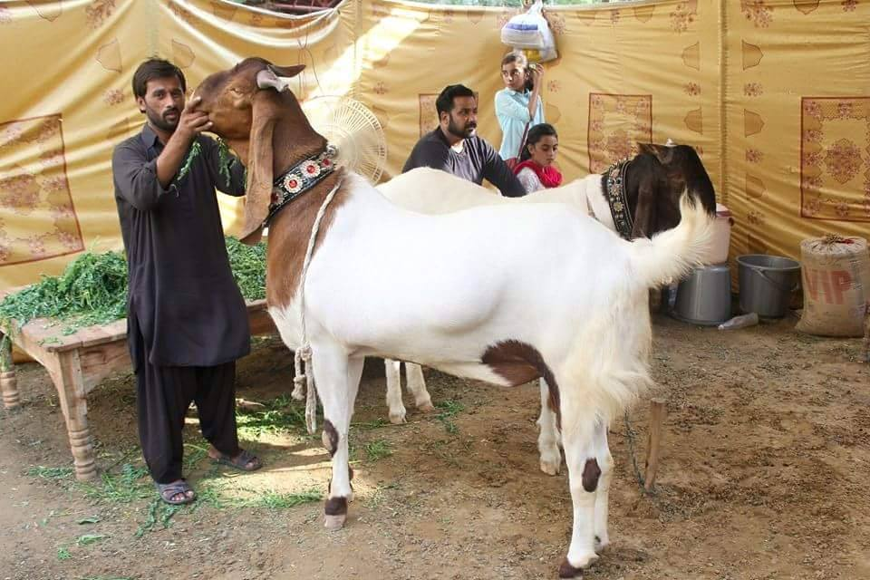 Beautiful Heavy Weight Goats 2016 : 6 pics