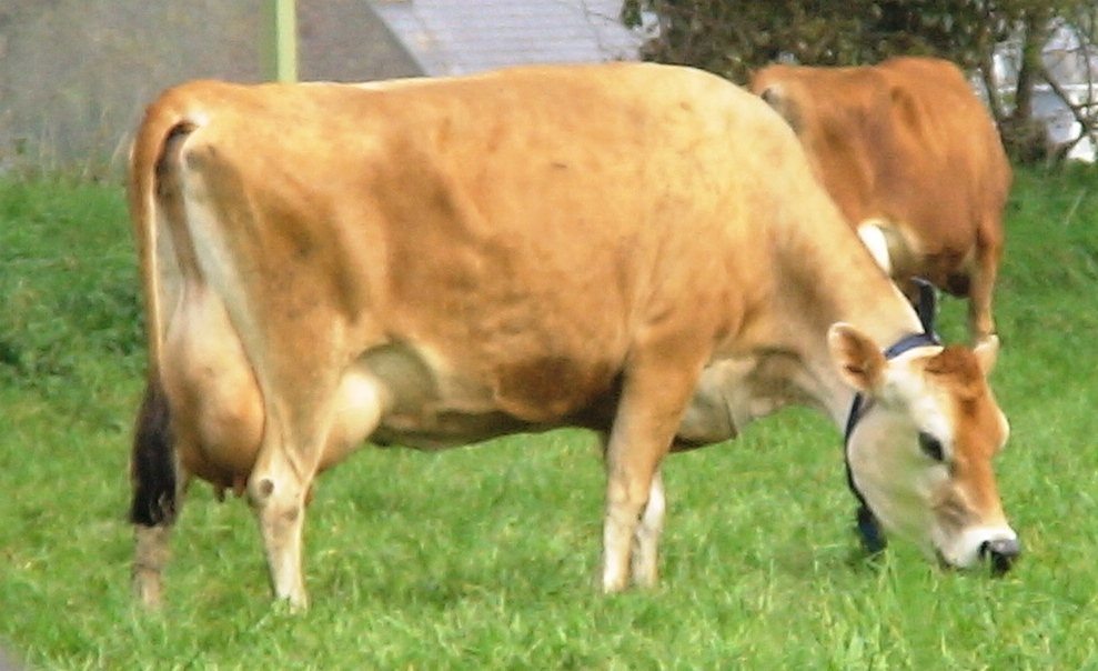 American Brown Swiss Cow Breeds 51 Pics