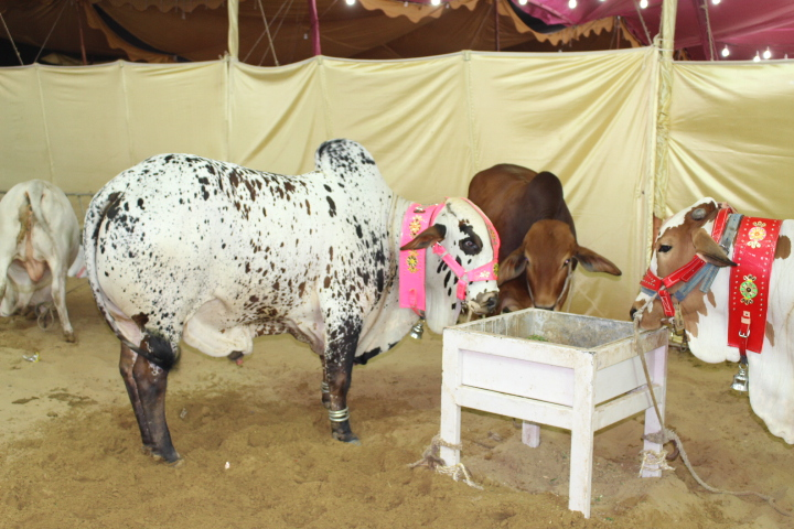 Cow Mandi & Cattle Farm 2014