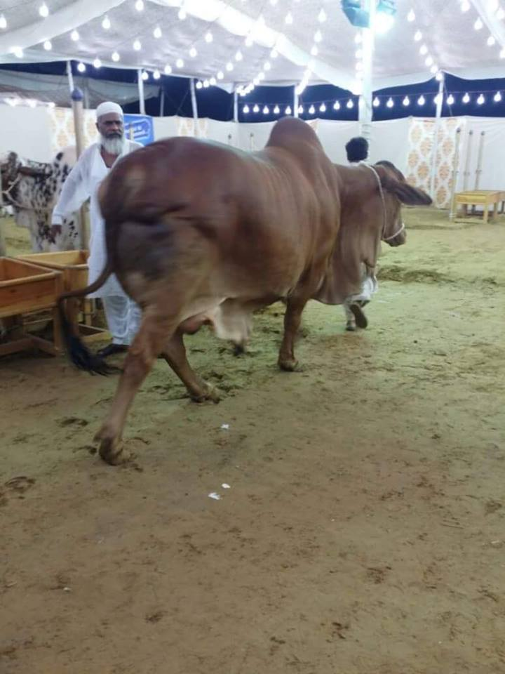 Dilpasand Cattle Farm 2016
