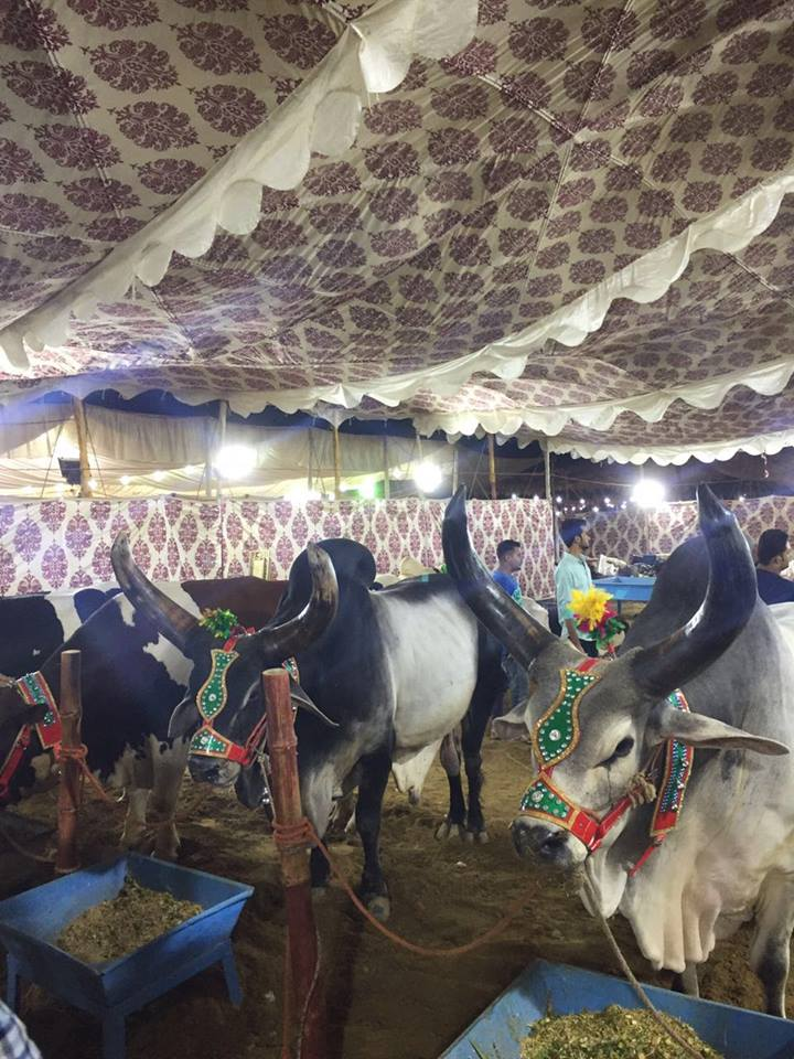 Jinnah Cattle Farm 2016