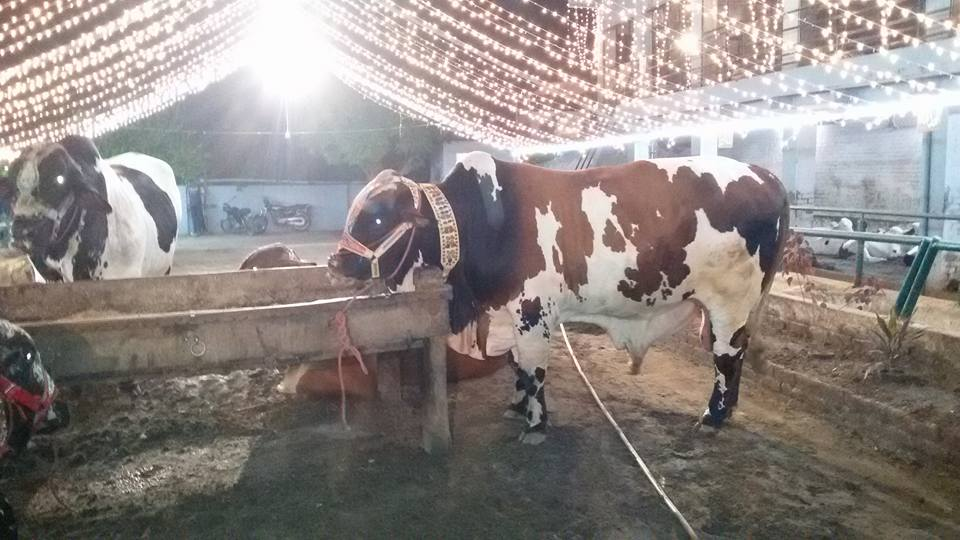 Malik Cattle Farm 2016 Lahore