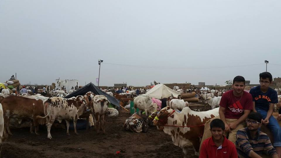 Morning In Cow Mandi