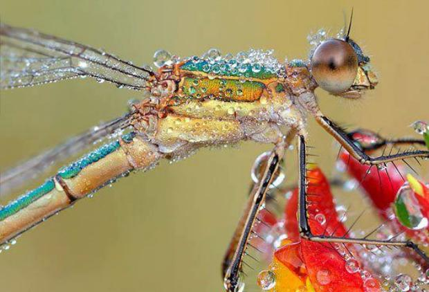 Dragonfly and Water Drops