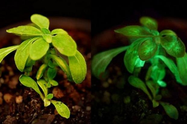 Plant That Glows in the Dark