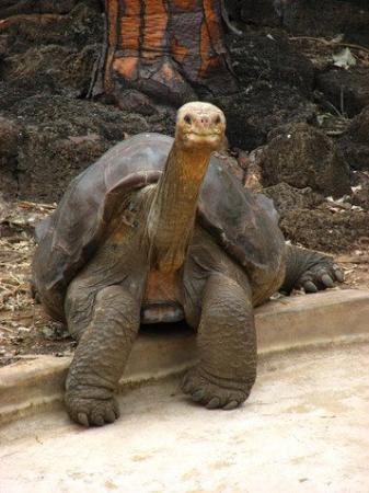 100 years old - Galapagos Tortoise