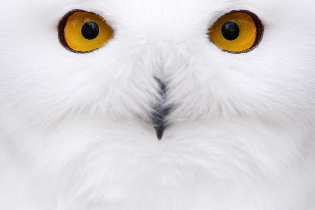 A snowy owl sat in its compound at a zoo in Hof, Germany
