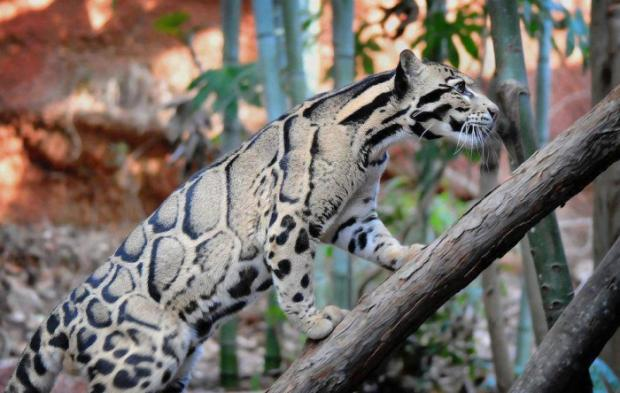 Amazing Clouded Leopard