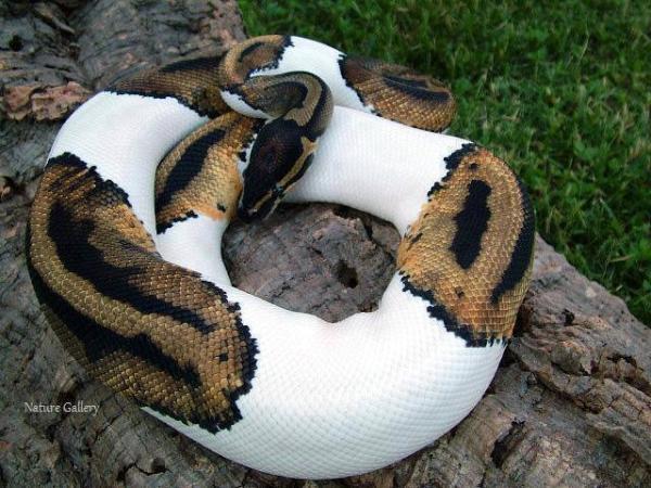 Awesome Snake