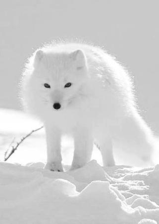 Beautiful White Snow Fox