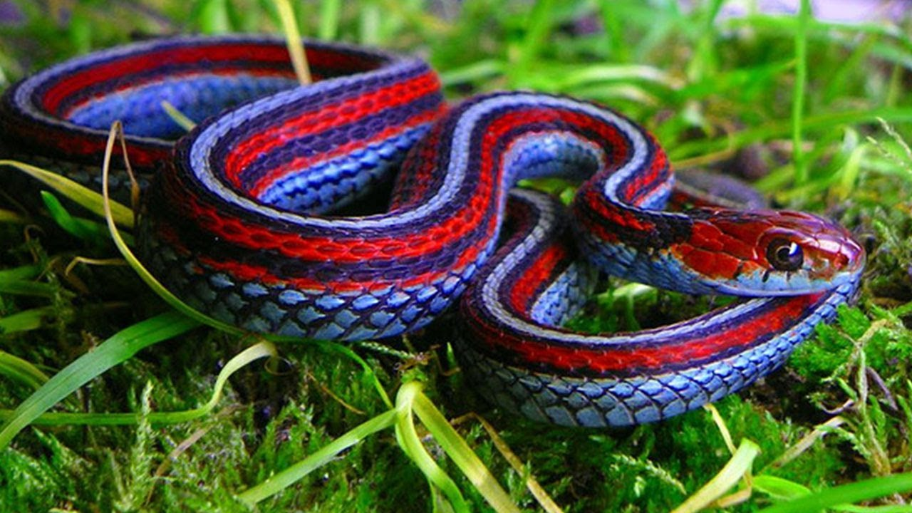 Blue Red Snake - Animals & Pets Images & Photos