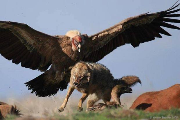 Condor bird chasing a wolf. Wow look at the size of that bird