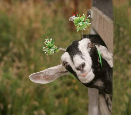 Cute Goat - Animals &a...