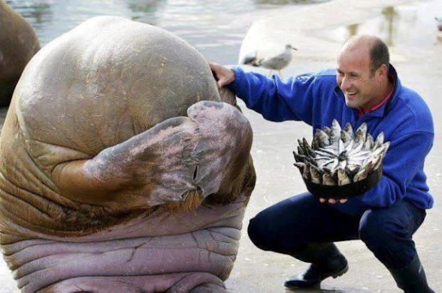 Great picture of A Walruss being presented with a fish