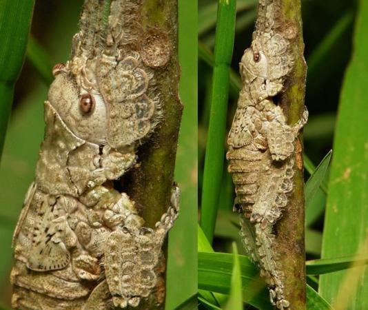 Katydid Nymph (Pseudophyllinae, Cymatomerini, Olcinia)