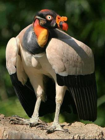 King Vulture, Native To Central and South America