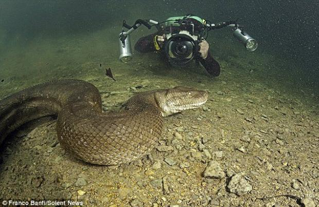 Terrifying close-up of a 26 ft (8 meter) anaconda snake underwater