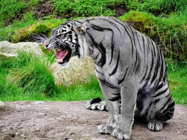 The Rare Maltese (Blue) Tiger, Thought to be Exctinct