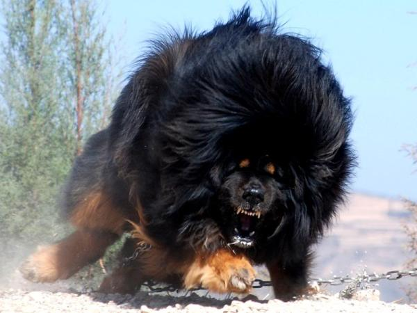 Tibetan Mastiff - World