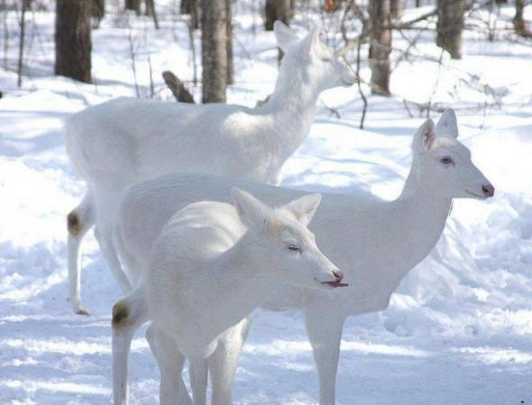 White Deers...... Rare Species
