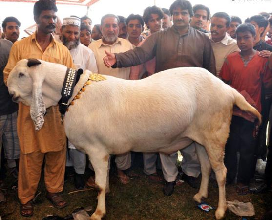 288.5 kg goat in Faisalabad