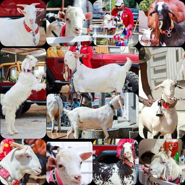 A Collection of White Goats Pictures