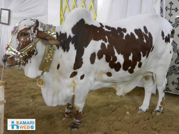 Beautiful Brown Spotted Cow